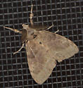 Moth - Orgyia leucostigma - male