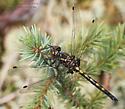Odonata - Leucorrhinia hudsonica