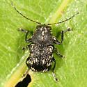 Casebearer Beetle - Pachybrachis femoratus