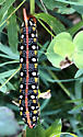 caterpillar western shore lake michigan - Hyles euphorbiae