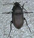 Dark, purplish beetle with fine hair - Chlaenius tomentosus