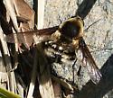 Beefly sp - Bombylius