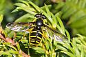 Bee - Sericomyia chrysotoxoides