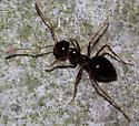False Honey Ant - Prenolepis imparis - female