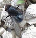 do dead flies get maggots? - Cynomya cadaverina