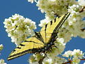 Two-Tailed Swallowtail - Papilio multicaudata - male