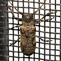 Cerambycidae 2011_09_29_9051 - Oncideres cingulata