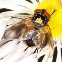 fly - Phasia aurulans