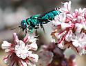 Chrysidid Wasp? - Parnopes edwardsii