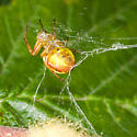 Yellow Spider At 'Work' - Araniella displicata