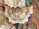 Moth A - unident - Metarranthis hypochraria