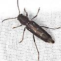 Arrowhead Borer Beetle - Xylotrechus sagittatus