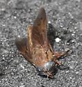 Horse fly - Tabanus - female