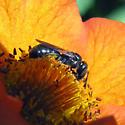 Small Carpenter Bee - Ceratina