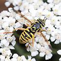 Spilomyia interrupta  - Spilomyia interrupta