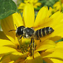 Leaf-cutter bee - Megachile pugnata - female