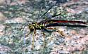 Giant Ichneumon - Megarhyssa macrurus - male