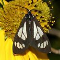 Moth - Gnophaela vermiculata