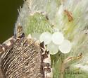 Ovipositing Stink Bug - ID request - Euschistus - female