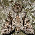 distinct quaker - Achatia distincta