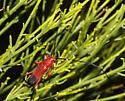- - Rhodoleptus femoratus