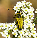 Beetle on yarrow - Lepturobosca chrysocoma