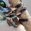 Asilid with banded legs - Megaphorus prudens