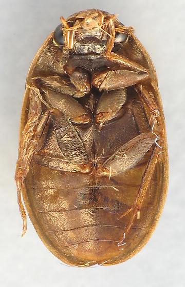 nice tan Hydrophilidae - Enochrus hamiltoni