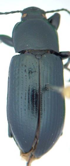 Centronopus calcaratus - male