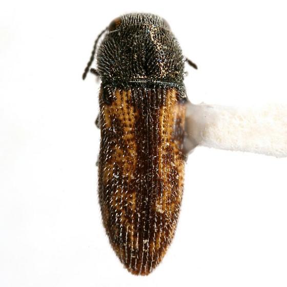 Acmaeodera opuntiae Knull - Acmaeodera opuntiae