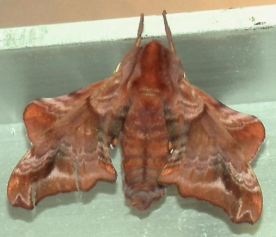 Mystery sphinx moth - Paonias myops