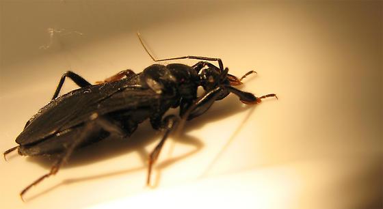 Assassin Bug - Black Corsair - Melanolestes picipes