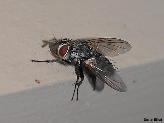 Fly - Compsilura concinnata