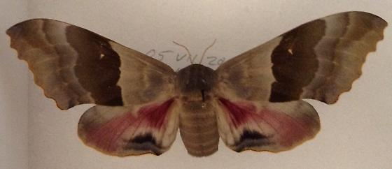 Large sphinx moth - Pachysphinx modesta