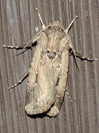 AZ moth - Feltia subterranea