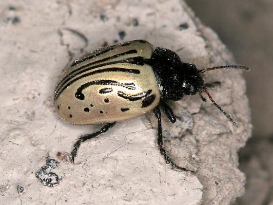 Calligraphy beetle - Calligrapha dislocata - male
