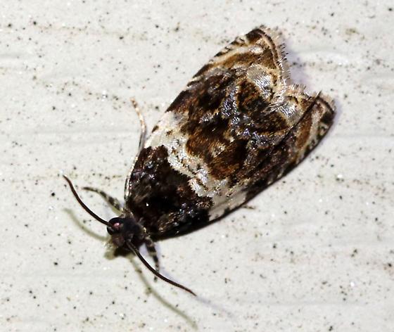 Olethreutes fasciatana