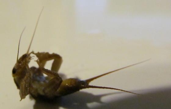 pond bug 38