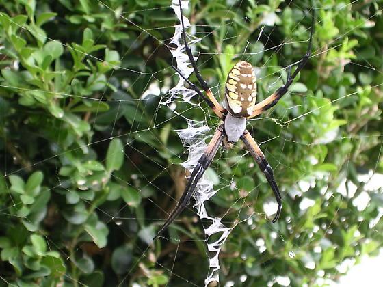 Orb Spider on web - Argiope aurantia - female