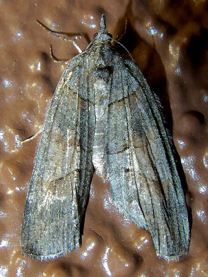 unknown moth - Cyclica frondaria