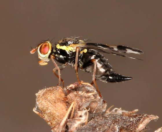Tephritidae, #2, lateral - Urophora cardui