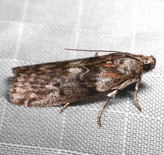 Sciota - Sciota subcaesiella