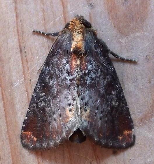 Noctuidae: Achatodes zeae  - Achatodes zeae