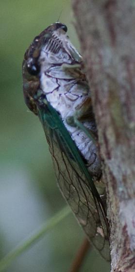 Cicada on Baccharis - Neotibicen tibicen