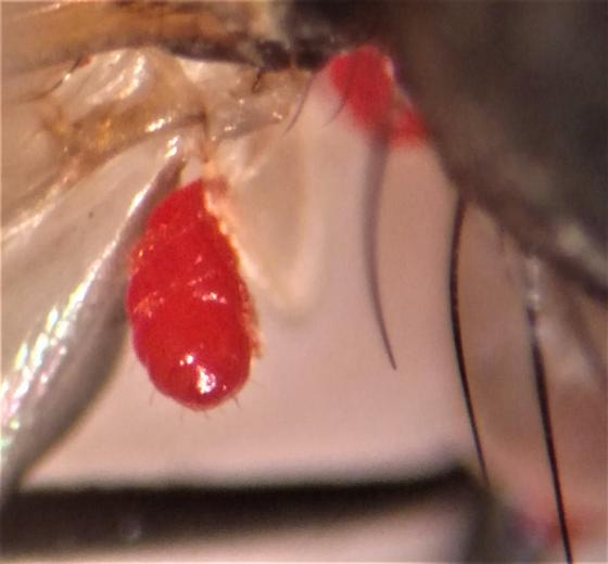 mites on a fly1