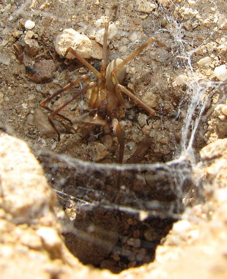Brown spider - Loxosceles arizonica - male