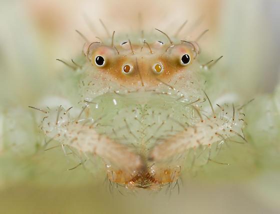 Crab Spider ID Please? - Mecaphesa