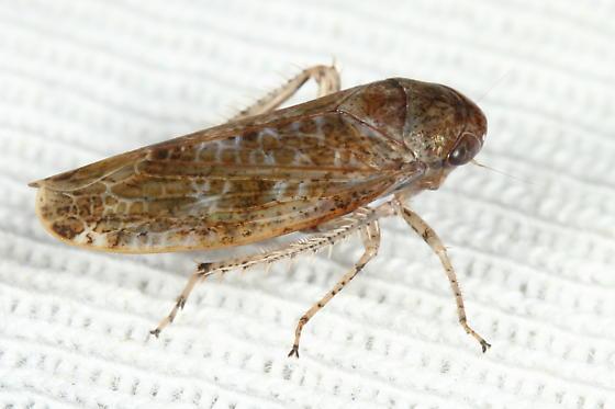 Leafhopper - Allygidius atomarius