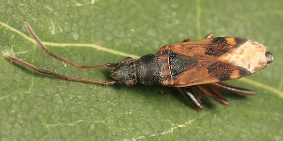 Dirt-colored Seed Bug - Ligyrocoris sylvestris