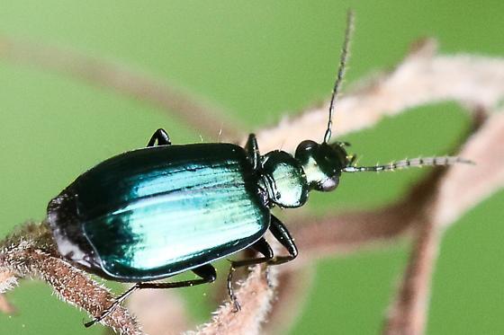 Ground beetle - Lebia viridis